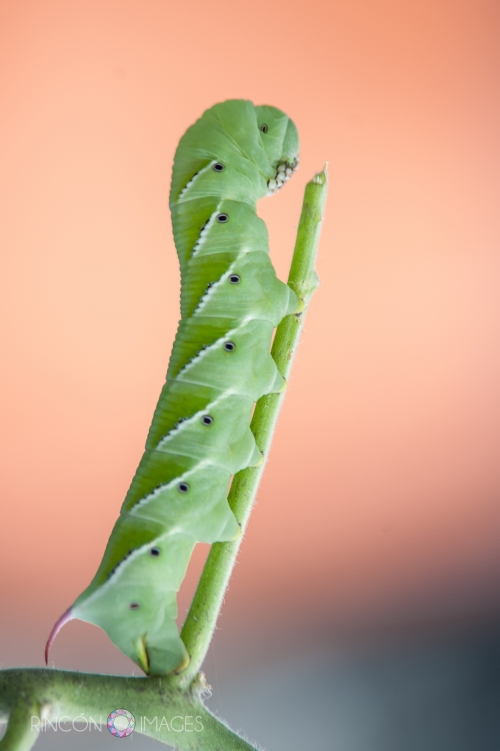 Photography is a great way to examine things up close. By using my long lens I am able to see so much more detail in this photograph than I could using just my naked eye. I really love the way the green of the caterpillar pops out agains this orange background.